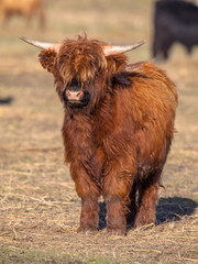 Full resolution Portrait of a Highland cattle calf