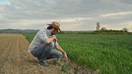 Farmer Examines and Controls Young Wheat Cultivation Field