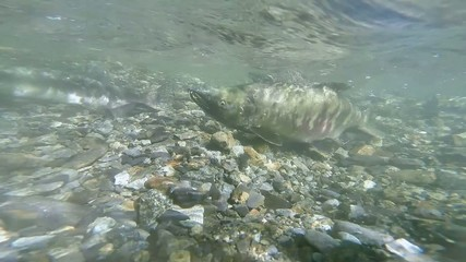Underwater slow motion wild Alaskan salmon swimming upstream
