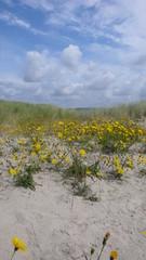 Dunes en fleur, le Touquet
