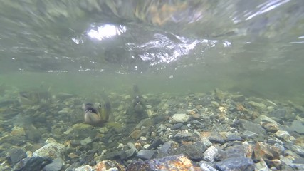 Underwater wild male and female pink salmon in river