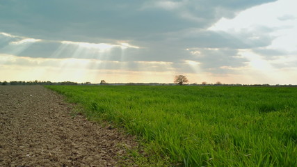 Green Wheat Sprouts Field and Arable Land in Agricultural Field