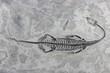 Leinwanddruck Bild - original Keichousaurus hui Fossil gefunden in Xingyi/ Guizhou (China)