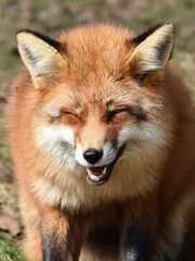 Red fox (Vulpes vulpes) looks like it is laughing