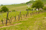 Vineyards at Euganean hills, Veneto, Italy during spring