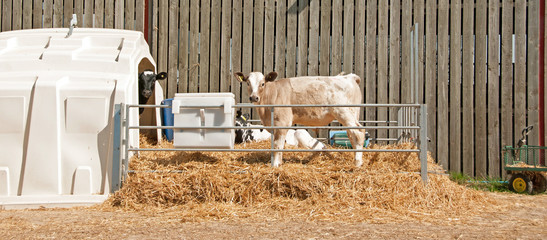 Charolais cross calf standing in pen