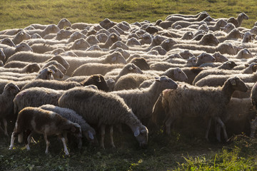Sheeps in an urban park in Rome, Italy