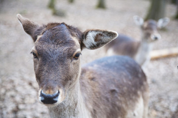 portrait of young deer in the forest in national park
