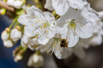 Cherry blossoms and a bee