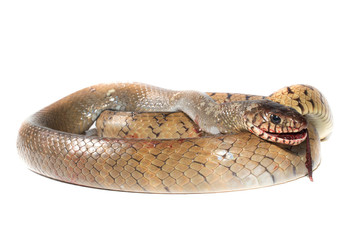 Indochinese rat snake isolate on white