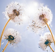 Dandelion clocks: wishes and dreams :)