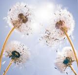 Fototapeta Dandelion clocks: wishes and dreams :)