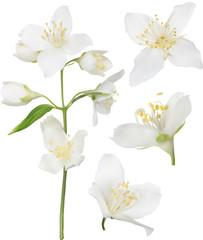 white jasmine blossom collection illustration