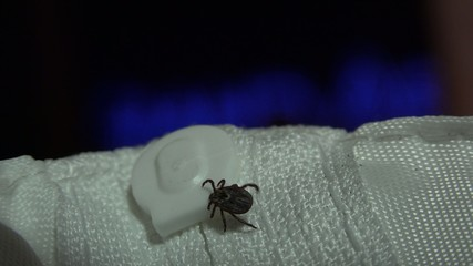 Ixodes scapularis is commonly known as the deer tick