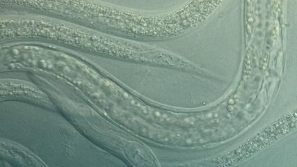 A free-living, transparent nematode (roundworm)