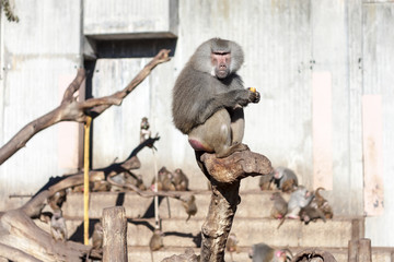 Papion baboon