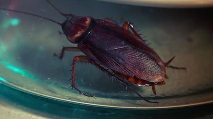 The American cockroach ,Periplaneta americana,hides on the food
