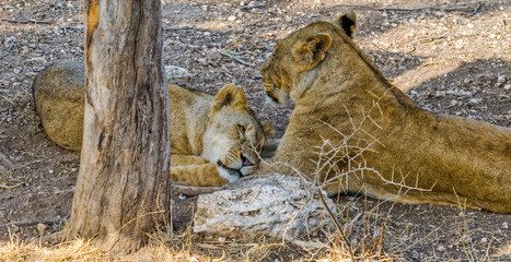 Lionesses in the shade