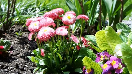 Dahlien im Frühling