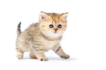 Redhead little kitten on white on white background