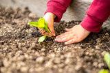 Hands transplanting a young green seedling