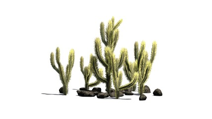 Cholla Cactus - isolated on white background