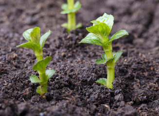 Mint seedlings
