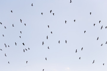 silhouette of a flock of birds in the blue sky