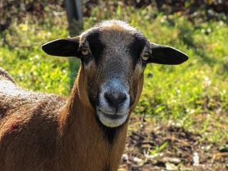 Ziegenkopf, große Augen