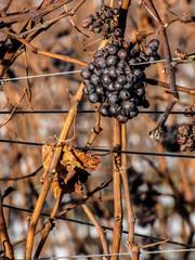 Spätlese, Weintrauben im Herbst bfo-081214SX1146