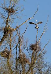 Hérons et nids