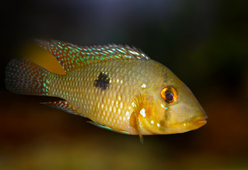 Cichlasoma brasiliensis. Aquarium fish.