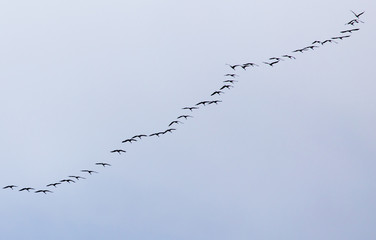 a flock of swans on the blue sky
