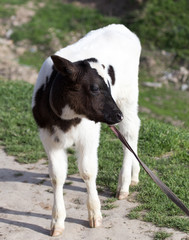 small calf in nature
