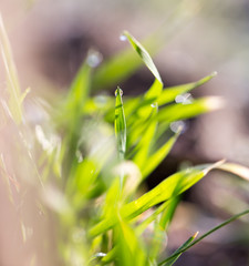 beautiful grass with dew drops