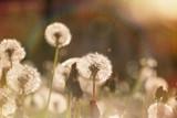 Beautiful dandelion field - dandelion seeds - 82567872