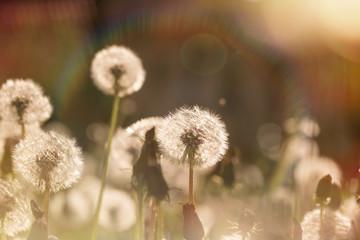 Beautiful dandelion field - dandelion seeds