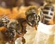 Obrazy na płótnie, fototapety, zdjęcia, fotoobrazy drukowane : Bees convert nectar into honey