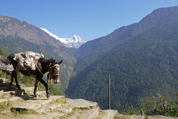 pack mule in the mountains in Nepal