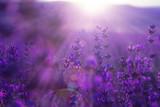 Fototapety field lavender flowers