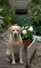 labrador in a pretty gardenlovely