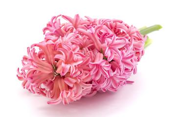 Pink Hyacinth flower, Hyacinthus orientalis isolated on white