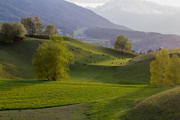 Landschaft mit Schafen / Igls - Tirol