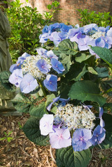 Blue Hydrangea Macrophylla Flower in a southern USA garden