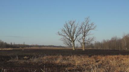 Oak Trees Survive Fire
