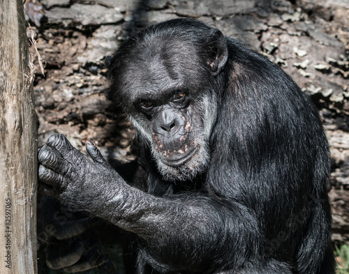 Foto op Canvas Aap Chimpanzee caught in the act