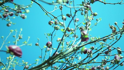 Yulan magnolia or Magnolia Denudata