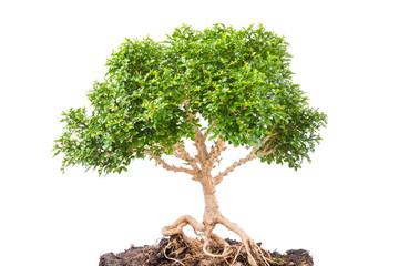 Bonsai tree on white background.