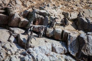 Humboldt penguin,  national park Isla de Ballestas, Peru
