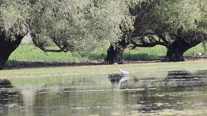 grey heron wildlife